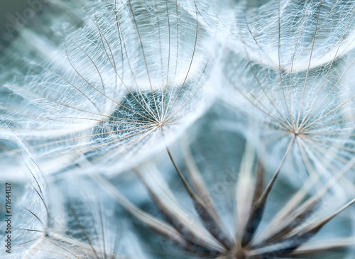Foto auf Gartenposter Lowenzahn natural backdrop of the fluffy seeds of the dandelion flower in a delicate sky blue colours