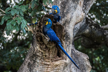 Hyacinth Macaw (Anodorhynchus Hyacinthinus) Lives In The Biomes Of The Amazon And Especially In The Cerrado And Pantanal. This Species Is Threatened With Extinction. Captive Animal.