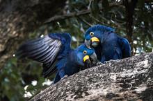 Hyacinth Macaw (Anodorhynchus ...