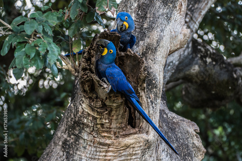 Hyacinth Macaw (Anodorhynchus hyacinthinus) lives in the biomes of the Amazon and especially in the Cerrado and Pantanal Canvas Print