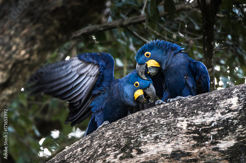 Photo Hyacinth Macaw (Anodorhynchus hyacinthinus) lives in the biomes of the Amazon and especially in the Cerrado and Pantanal