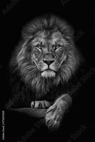 Photo sur Aluminium Lion King Lion