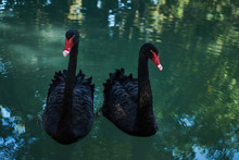 Two Black Swans Float In The L...