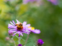 Bee On New England American-aster