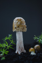 Amanita Flavorubescens