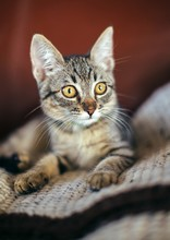 Tabby Kitten With Amber Eyes A...