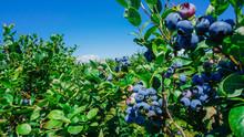 Blueberries Farm In Harvest Se...