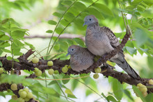 Dove Pairs On The Tree.