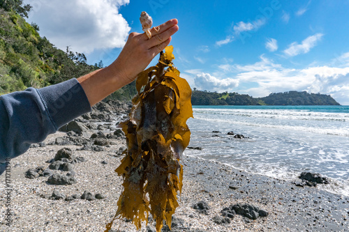 woman hand holding brown kelp on the beach