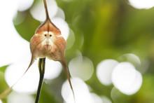 A Monkey Orchid (Looks Like A Monkey's Face)