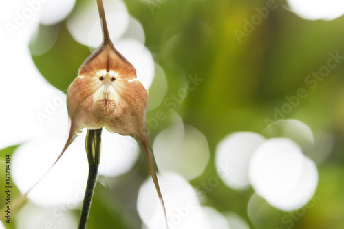 Photo sur Aluminium Singe a Monkey Orchid (Looks Like a Monkey's Face)