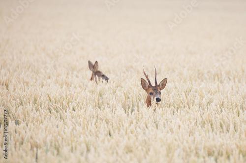 In de dag Ree Roe deer (Capreolus capreolus)