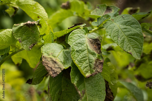 Leaves Plant Of Potato Stricken Phytophthora (Phytophthora Infestans) In Vegetable Garden Close Up Wallpaper Mural
