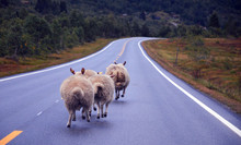 Sheep Running On An Empty Road...