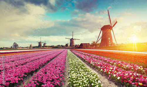 Fotografía  Landscape with tulips, traditional dutch windmills and houses near the canal in