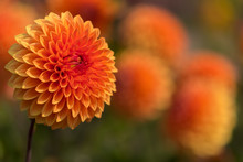 Orangefarbene Dahlien