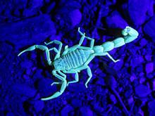 Scorpion Buthus Occitanus Glow Bright Green Under UV Light