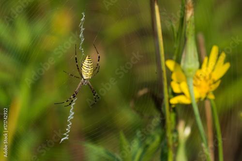 Plakat Makro- fotografia pająk w jego naturalnym środowisku w lato ranku