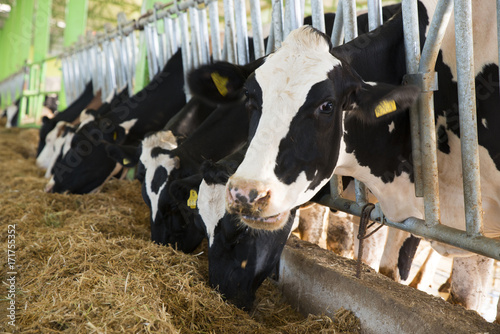 Staande foto Koe agriculture industry, farming and animal husbandry concept - herd of cows eating hay in cowshed