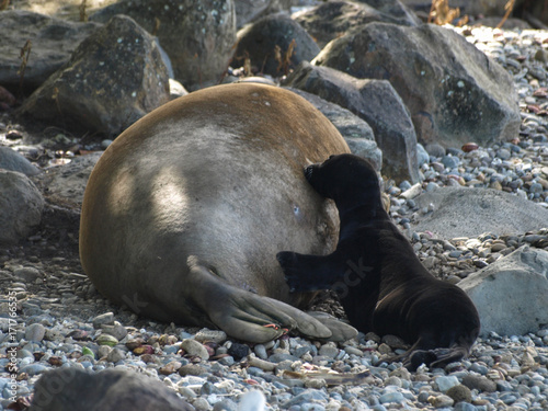 Hawaii Monk Seal Mother Baby Feeding 6 Buy This Stock Photo And