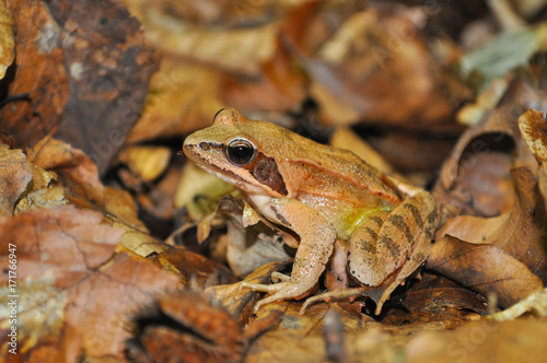 Agile Frog (Rana dalmatina) in the forest. Frog in nature