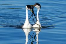 Western Grebe - Courtship