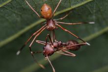Crab Spider Feeding On Ant