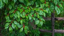 Close Up Of A Winterberry Bush...