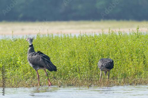 Brazilian Pantanal - Southern screamer Slika na platnu