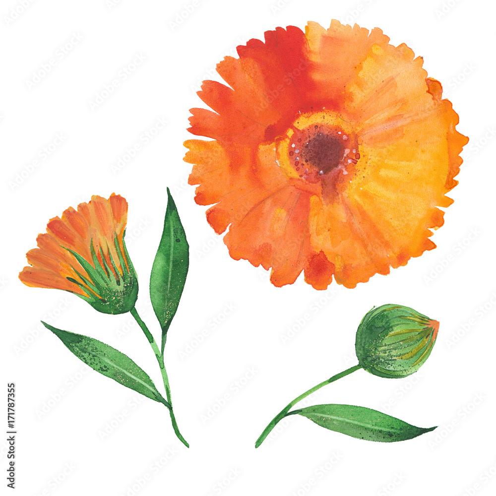 Fototapety, obrazy: watercolor calendula flower