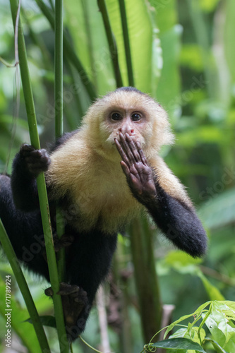 Fototapeta wild Capuchin (howler) monkey with hand over mouth holding onto tree