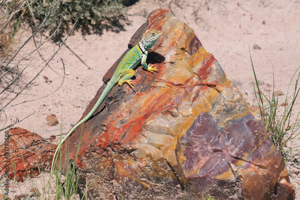 Crotaphytus collaris Eastern Collared Lizard on a piece of petrified  Rainbow wood. Petrified Forest National Park, Arizona