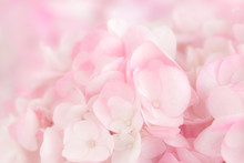 Close Up  A Group Of Pink And White Hydrangea.