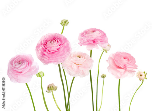 Canvas Print Light pink flowers (Ranunculus) isolated on white background.