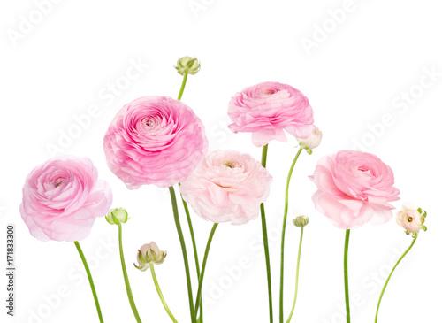 Obraz na płótnie Light pink flowers (Ranunculus) isolated on white background.