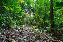 Jungle Footpath Through Lush T...