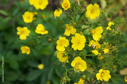 Fotografia, Obraz  Gold drop potentilla fruticosa many yellow flowers with green