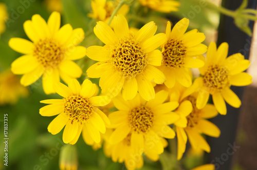 Arnica sachalinensis many yellow flowers with green Wallpaper Mural