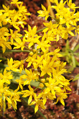 Photo Sedum acre many yellow flowers