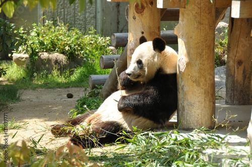 Plakat Posiłek Panda
