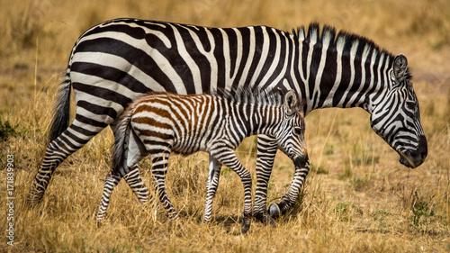Obraz na płótnie Zebra Matka i dziecko