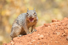 Angry Squirrel In The Grand Ca...