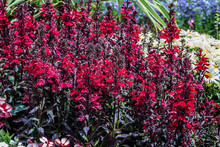 Red Lobelia Cardinalis Spikes Of Scarlet, Five-petalled Flowers.