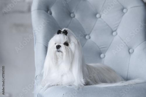 Valokuva  white dog