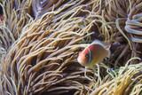 Fototapeta  - Pink anemonefish - rybka nemo - morze filipińskie