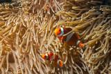 Fototapeta Do akwarium - Rybka nemo - anemonefish - amphirion