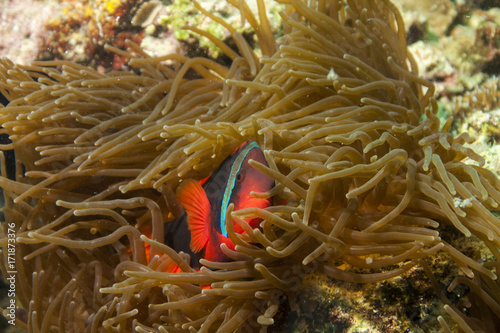 Plakat Rybka nemo - anemonefish - amphirion