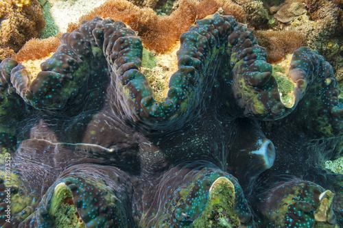 Obraz na dibondzie (fotoboard) Muszle gigant - morzez filipińskie - wyspa Bohol