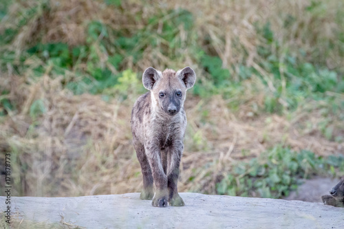 In de dag Hyena Young Spotted hyena starring at the camera.