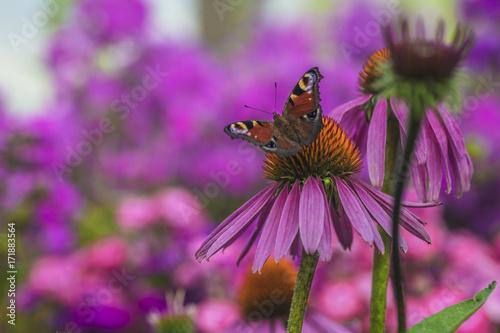 Plakat Piękny motyl na różowym kwiacie w lato ogródzie.